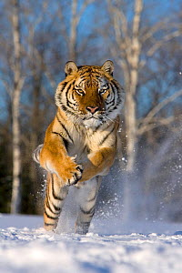 Siberian tiger (Panthera tigris altaica) running in snow. Controlled conditions. - Klein & Hubert