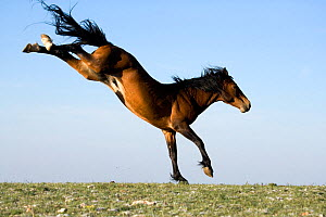 Mustang stallion kicking out after winning fight. Rocky Mountains, USA, June.  -  Klein & Hubert
