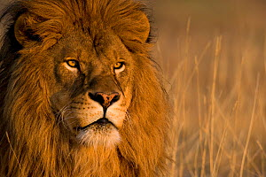 African lion (Panthera leo) portrait, South Africa  -  Klein & Hubert