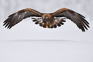 Golden eagle (Aquila chrysaetos) in flight over snow. Kalvtrask, Vasterbotten, Lapland, Sweden. January. - Staffan Widstrand