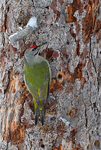 Grey-headed woodpecker (Picus canus) on tree trunk. Kalvtrask, Vasterbotten, Lapland, Sweden. January.  -  Staffan Widstrand