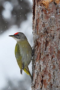 Grey-headed woodpecker (Picus canus) on tree trunk in falling snow. Kalvtrask, Vasterbotten, Lapland, Sweden. January. - Staffan Widstrand