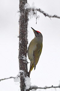 Grey-headed woodpecker (Picus canus) on lichen and snow covered tree trunk. Kalvtrask, Vasterbotten, Lapland, Sweden. January.  -  Staffan Widstrand