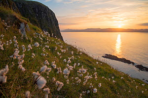 Cotton grass (Eriophorum angustifolium) growing on Garbh Eilean with the Isle of Lewis behind, Shiant Isles, Outer Hebrides, Scotland, UK. June.  -  SCOTLAND: The Big Picture
