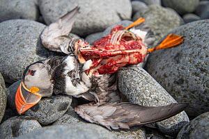 Puffin (Fratercula arctica) killed by Great skua (Stercorarius skua), Shiant Isles, Outer Hebrides, Scotland, UK. Jun 2018 - SCOTLAND: The Big Picture