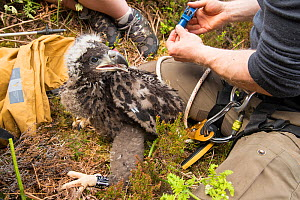 White-tailed eagle (Haliaeetus albicilla) chick being ringed by RSPB biologists on the Isle of Lewis, Outer hebrides, Scotland, UK, May. - SCOTLAND: The Big Picture