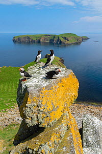 Puffins (Fratercula arctica) and razorbills (alca torda) with Eilean Mhuire behind, Shiant Isles, Outer Hebrides, Scotland, UK. June, 2018 - SCOTLAND: The Big Picture