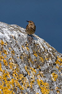 Rock pipit (Anthus petosus), Shiant Isles, Outer Hebrides, Scotland, UK. June.  -  SCOTLAND: The Big Picture