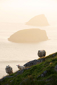 Feral sheep with Galtachan islands behind, Shiant Isles, Outer Hebrides, Scotland, UK. June 2018  -  SCOTLAND: The Big Picture