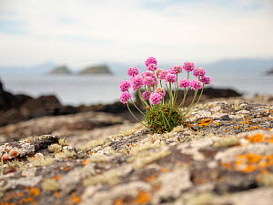 Thrift (Armeria maritima) growing on the Shiant Isles, Outer Hebrides, Scotland, UK. June. - SCOTLAND: The Big Picture