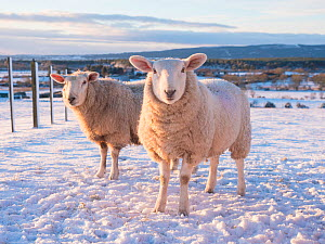 North Country Cheviot sheep on a croft in winter, Sutherland, Scotland  -  SCOTLAND: The Big Picture