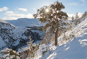 Snow covered Scot's pine tree (Pinus sylvestris) Ryvoan Pass, Cairngorms National Park, Scotland, UK, January.  -  SCOTLAND: The Big Picture