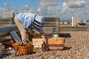 Urban beekeeper Ed O'Brien inspecting hive on top of Blythswood Square Hotel in the city centre, Glasgow, Scotland, UK, August 2018.  -  SCOTLAND: The Big Picture