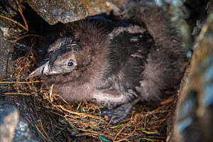 Puffin (Fratercula actica) chick in rocky burrow, Shiant Isles, Outer Hebrides, Scotland, UK. July, 2018. - SCOTLAND: The Big Picture