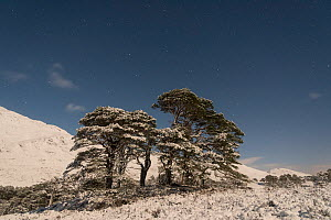 Stand of ancient Scot's pine (Pinus sylvestris) trees lit by the moon, at night in winter, Glen Affric, Scotland, UK, December. - SCOTLAND: The Big Picture