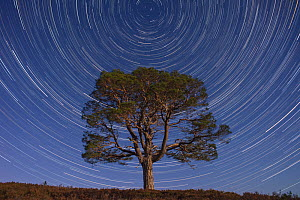 Lone Scot's pine tree (Pinus sylvestris) and star trails with the north star, Abernethy forest, Cairngorms National Park, Scotland, UK.  -  SCOTLAND: The Big Picture