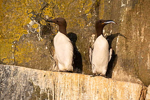 Guillemots (Uria aalge) one with herring, Shiant Isles, Outer Hebrides, Scotland, UK. July 2018.  -  SCOTLAND: The Big Picture