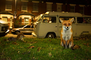 Red foxes (Vulpes Vulpes) on grass next to road with parked vehicles, North London, England UK  -  Matthew Maran