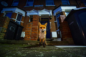 Red Fox (Vulpes Vulpes) outside houses, North London, England UK - Matthew Maran
