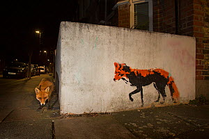 Red Fox (Vulpes Vulpes) next to red fox graffiti art at night. North London, England UK - Matthew Maran