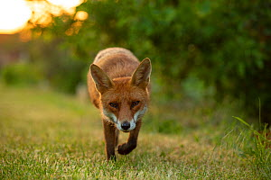 Red Fox (Vulpes Vulpes) walking in allotment, North London, England UK - Matthew Maran