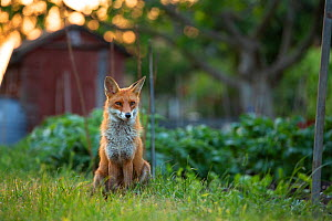 Red Fox (Vulpes Vulpes) in alotment, North London, England UK  -  Matthew Maran