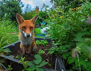 Red Fox (Vulpes Vulpes) in allotment, North London, England UK  -  Matthew Maran