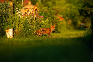 Red Fox (Vulpes Vulpes) in allotment. North London, England UK - Matthew Maran