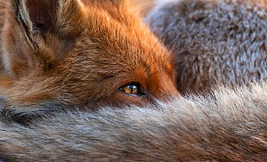 Red fox (Vulpes Vulpes) resting curled up close up, North London, England UK  -  Matthew Maran
