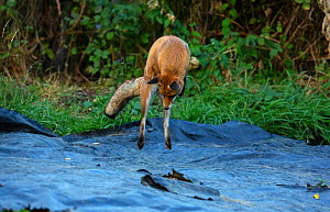 Red Fox (Vulpes Vulpes) pouncing / hunting for mice on allotment, North London, England, UK, September. - Matthew Maran