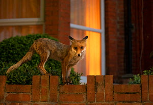 Red Fox (Vulpes Vulpes) on garden wall, North London, England UK  -  Matthew Maran