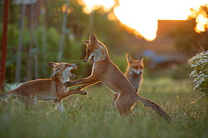 Red Fox (Vulpes Vulpes) cubs play fightingNorth London, England, UK, June. - Matthew Maran