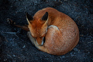 Red Fox (Vulpes Vulpes) a vixen which has dug into a compost pile to reach the warm centre before curling up and sleeping. North London, England, UK, August.  -  Matthew Maran