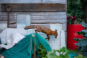 Red Fox (Vulpes Vulpes) patrolling the allotmentNorth London, England, UK, September. - Matthew Maran