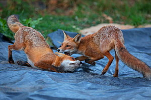 Red Fox (Vulpes Vulpes) vixen (left) playing her cub (right). North London, England, UK. - Matthew Maran