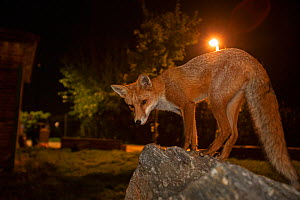 Red Fox (Vulpes Vulpes) at night, North London, England UK.  -  Matthew Maran