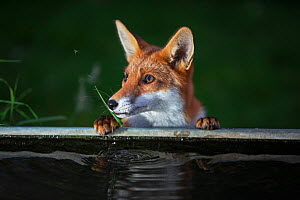 Red Fox (Vulpes Vulpes) a fox pauses from drinking distracted by a mosquito, North London,  England, UK - Matthew Maran