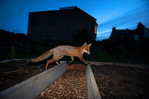 Red Fox (Vulpes Vulpes) walking over raised beds, North London, England UK - Matthew Maran