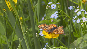 Marsh fritillary butterfly (Euphydryas aurinia) nectaring from a Buttercup (Ranunculus), Devon, England, UK, June. - Michael Hutchinson