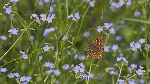 Marsh fritillary butterflies (Euphydryas aurinia) taking off after nectaring from a Water forget-me not (Myosotis scorpioides) flower, Devon, England, UK, June. - Michael Hutchinson