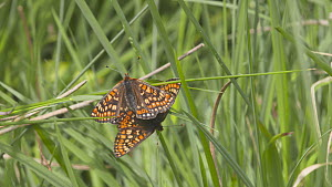 Pull focus shot to a pair of Marsh fritillary butterflies (Euphydryas aurinia) mating, Devon, England, UK, June. - Michael Hutchinson