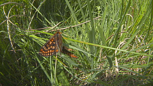 Tilt shot down to a pair of Marsh fritillary butterflies (Euphydryas aurinia) mating in grass, Devon, England, UK, June.  -  Michael Hutchinson