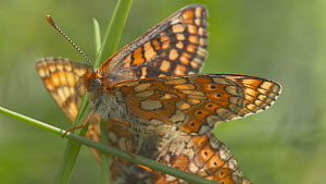 Tilt shot down to a pair of Marsh fritillary butterflies (Euphydryas aurinia) mating on a grass stem, Devon, England, UK, June.  -  Michael Hutchinson