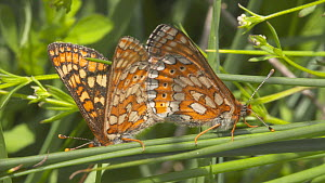 Pair of Marsh fritillary butterflies (Euphydryas aurinia) mating, Devon, England, UK, June. - Michael Hutchinson