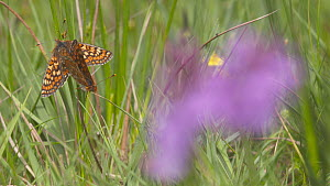 Pull focus shot from a Southern marsh-orchid (Dactylorhiza praetermissa) to a pair of Marsh fritillary butterflies (Euphydryas aurinia) mating, Devon, England, UK, June. - Michael Hutchinson