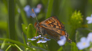 Marsh fritillary butterflies (Euphydryas aurinia) taking off after nectaring on a Water forget-me not (Myosotis scorpioides) flower, Devon, England, UK, June. - Michael Hutchinson