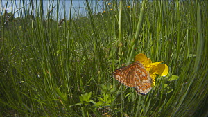 Marsh fritillary butterfly (Euphydryas aurinia) nectaring from a Buttercup (Ranunculus) before taking off, Devon, England, UK, June. - Michael Hutchinson