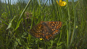 Pair of a Marsh fritillary butterflies (Euphydryas aurinia) courting on a Buttercup (Ranunculus), Devon, England, UK, June. - Michael Hutchinson