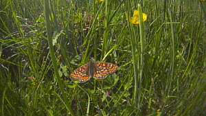 Pair of Marsh fritillary butterflies (Euphydryas aurinia) courting on a Buttercup (Ranunculus), Devon, England, UK, June.  -  Michael Hutchinson