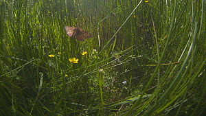 Tracking shot of a Marsh fritillary butterfly (Euphydryas aurinia) flying through grass and Buttercups (Ranunculus), Devon, England, UK, June. - Michael Hutchinson